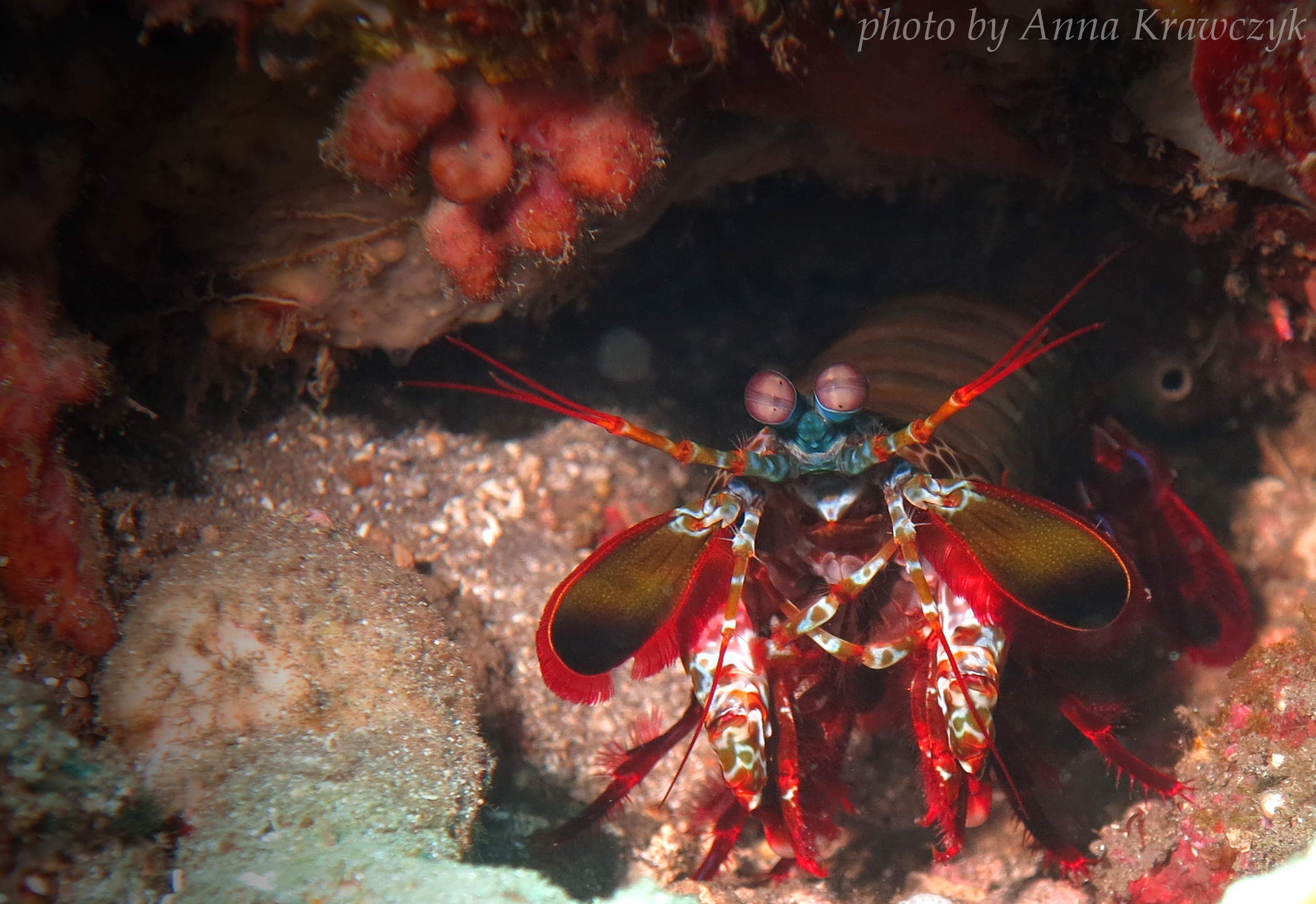 Mantis shrimp, Jemeluk Bay, Bali