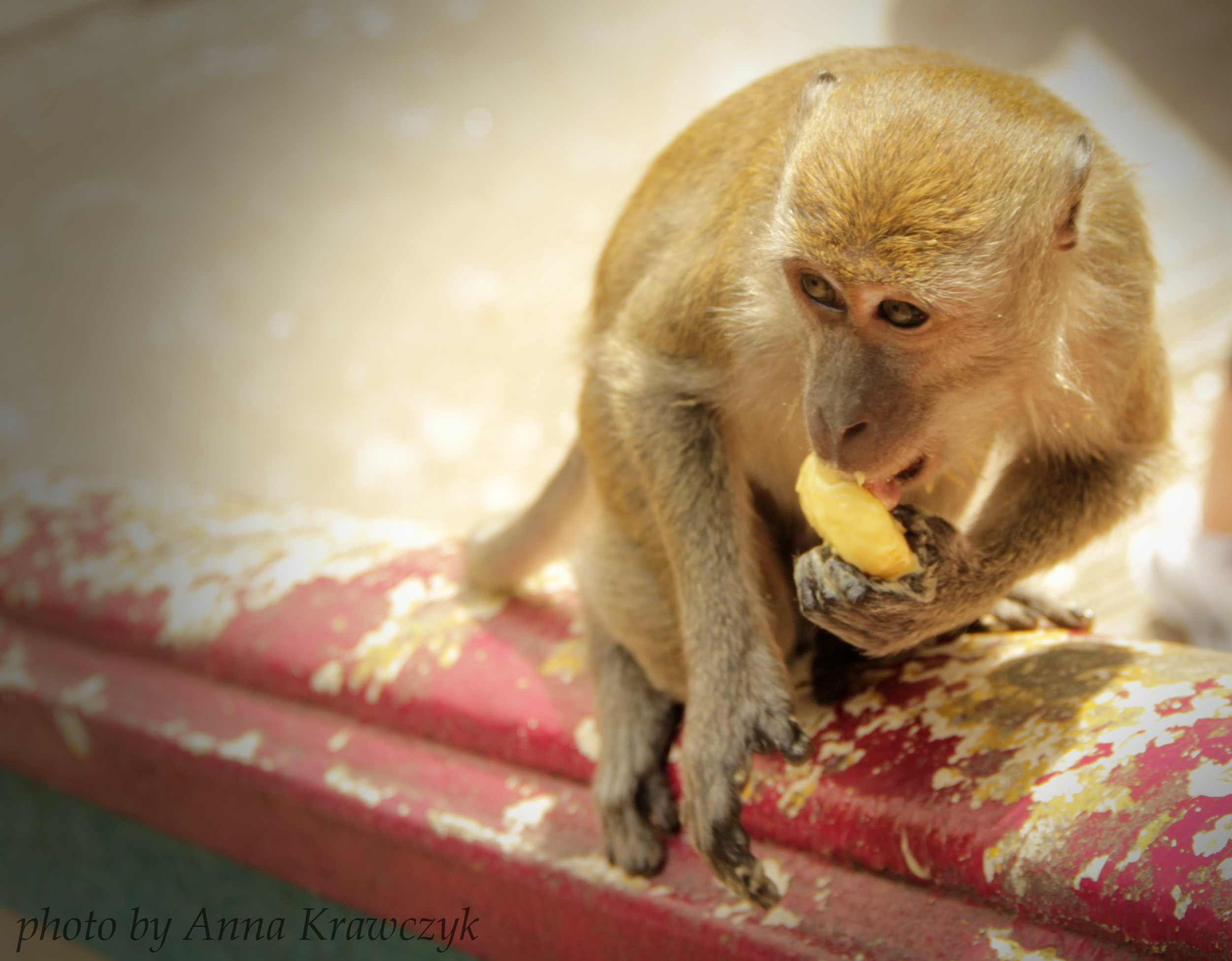 Little theft enjoying a piece of mango.